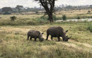 Nashörner im Nairobi Nationalpark in Kenia